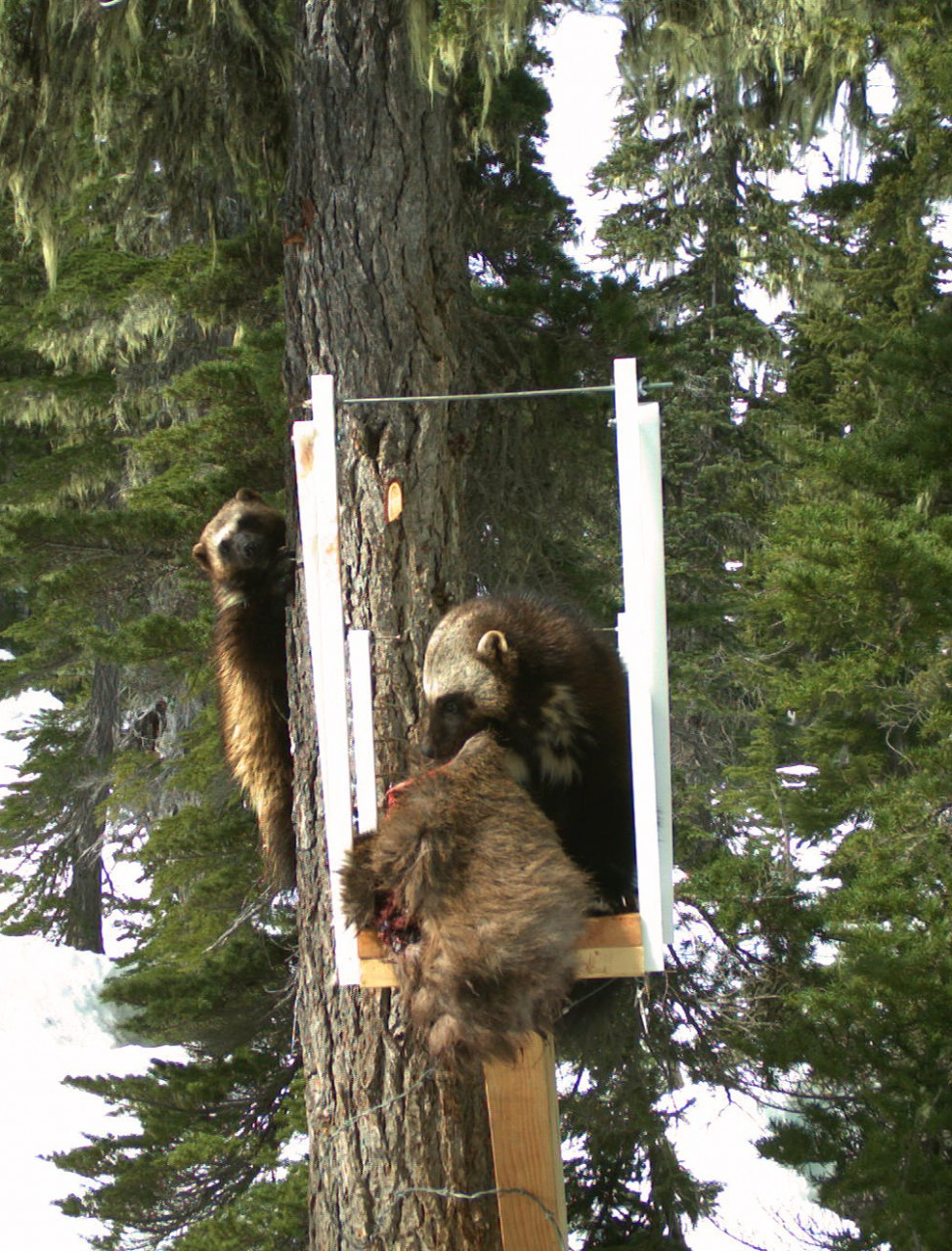 Remote cameras provide researchers with a window into the secret life of wild wolverines. We're finding these animals are far more social than previously thought.