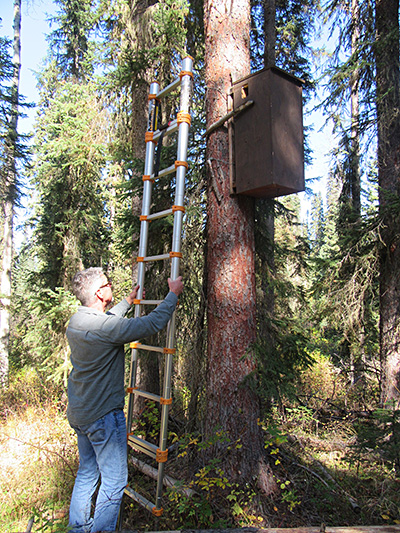 Biologist Larry Davis readies the ladder for inspection of one of the den boxes.