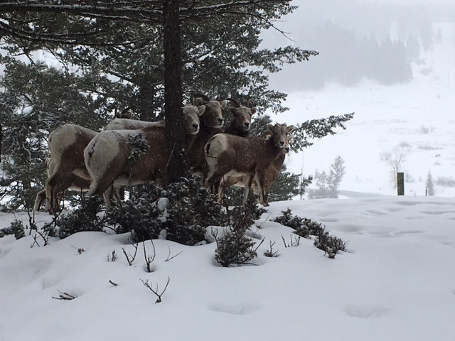 The Bull River bighorn herd in winter.