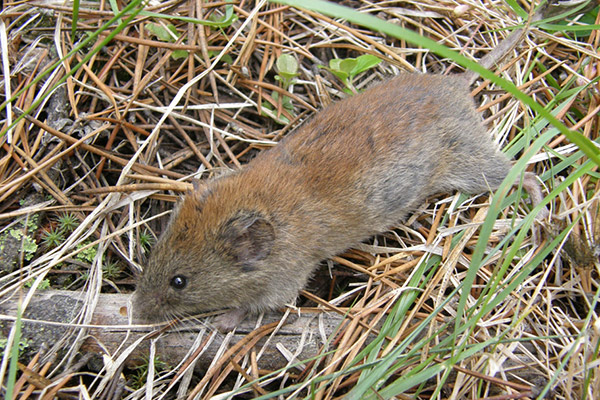 Red-backed_vole.jpg