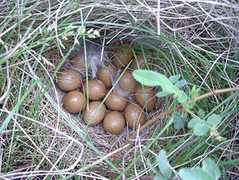 Sharp-tailed_Grouse_Nest_Paul_Burr.jpg