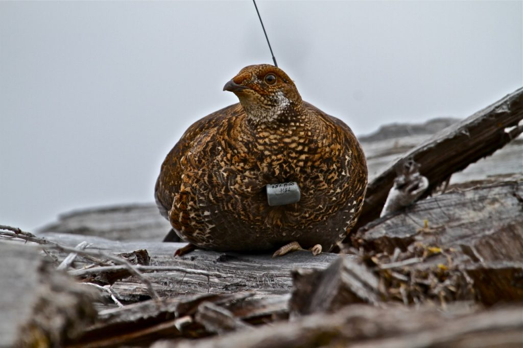 Sooty grouse sporting a radio telemetry collar