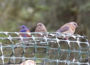 Bluebird_Family_GOERT.jpg