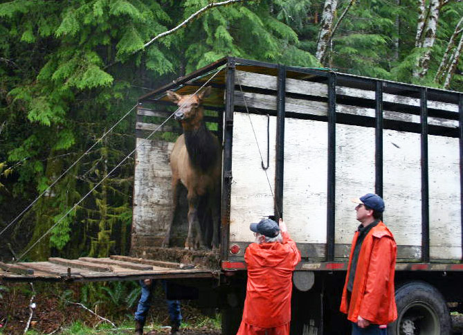Roosevelt Elk departs truck as part of Lower Mainland Elk Recovery Project