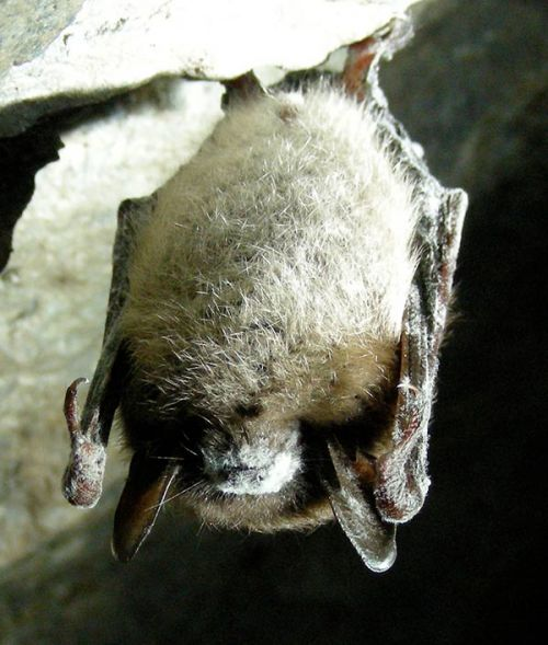 a1sx2_Original1_Small_Little_Brown_Bat_with_White_Nose_Syndrome.jpg