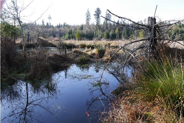 Beaver dam area at Homestead Marsh – courtesy of John Millen